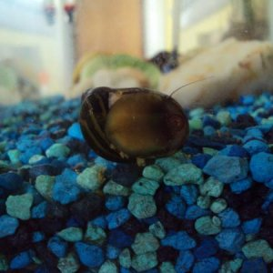 Here's a good pic of my new snail, Uraji, but i call him GG for short.