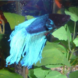 """Lagoon"" (Almost called him ""Chewie""...fins WERE 1/2"" longer!)"