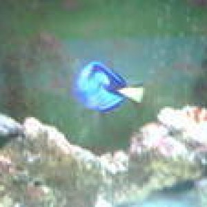blue tang, the varry first salt water fish i ever had