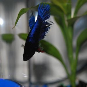 My female CT betta. She is more dark purplish blue.
