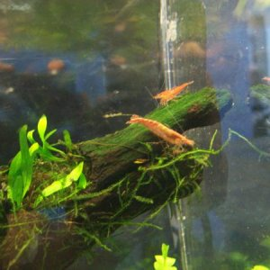 Java Fern attatched to driftwood & a little red cherry shrimp