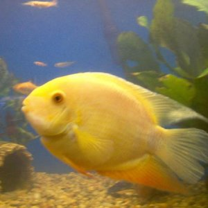 My new Gold Severum