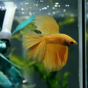 "King Willem-Alexander, AKA ""Willie"" Adopted May 29th 2013 3.5 month old yellow HM Aquastar Betta"
