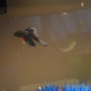 Finn swimming to his filter.