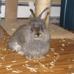 Bluebell my adopted bunny :) she is a beautiful angora mix she came from a house that had 150 rabbits in a hoarder situation. I am so glad I adopted h