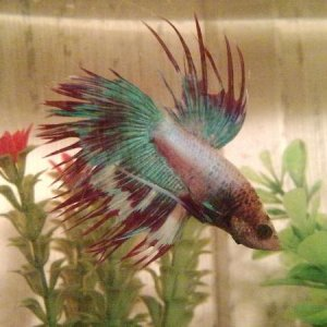 #9 Lighthouse.. he's my first crowntail ^_^