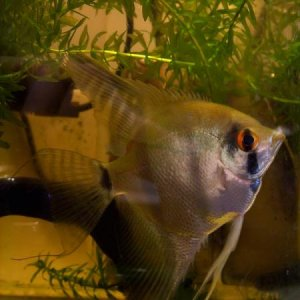old pictures of my angelfish...may he rip.  this was back when i first got him, sometime in 2008 i think. he had the most beautiful flowing fins and m