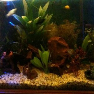 40 Gal  Mollies, Black Widow Tetras, Platies, Neon Tetras, Peppered Cories, Albino Cories, Bristlenose Pleco.