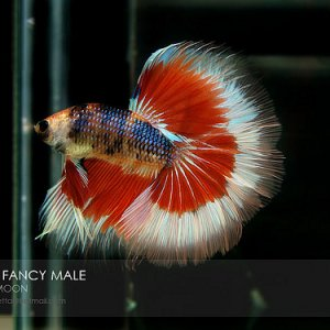 Newest fish :3  (Photo not taken by me*)  *(taken by GreatBettas as it shows in the picture XD)