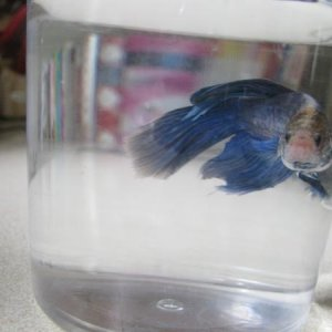 In his cup while I do a water change he is proably the hardest betta I have ever had to catch.He is better now but when I first got him he would try t