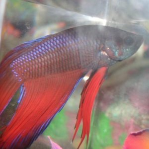 Red, blue, with what I think is black in between.  There's a bit of reflective green on his chin, light blue tipped ventrals, spots on his dorsal fin,