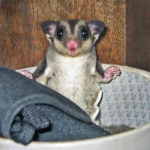 sugar glider....are cute...IM GETTING ONE.....:)he looks like he got busted for being bad....lol