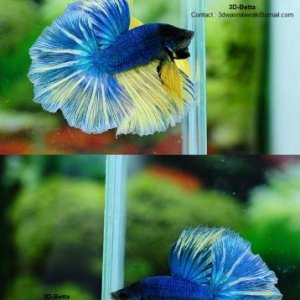 Turquoise/yellow grizzle  by 3d betta
