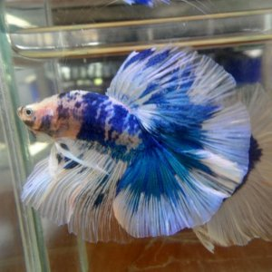 storybettas blue and white marble
