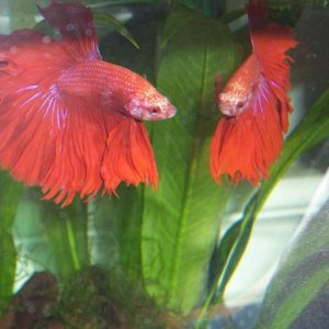 Alexander (the Great)    (red rosetail)