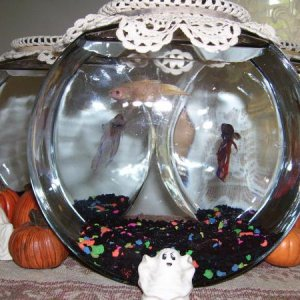 My Bettas new Bowls. Gary, Kitty, & Greg. Decorated for Halloween too :p (R.I.P. Kitty 1-12-11) (RIP Gary 10-17-11) (R.I.P. Greg 1-6-12)