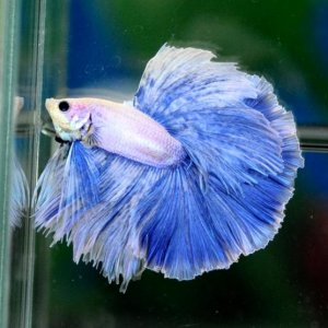 elegant betta snow blue