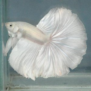 """Avalanche"" Elegant Betta white"