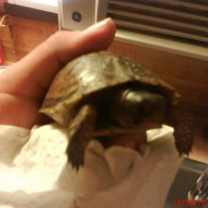 "This is ""Speed Bump"" rescued 2 yr old three-toed box turtle...special needs rescue...coming along well.."