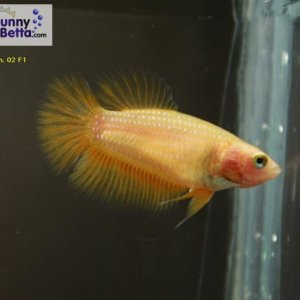 Female 02 Please contact my via PM or E-mail if you would like to adopt this betta.