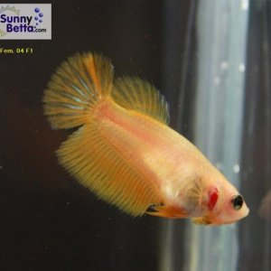 Female 04 Please contact my via PM or E-mail if you would like to adopt this betta.