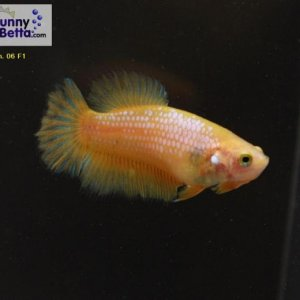 Female 06 Please contact my via PM or E-mail if you would like to adopt this betta.
