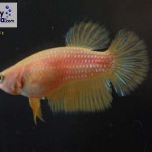 Female 09 Please contact my via PM or E-mail if you would like to adopt this betta.
