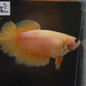 Female 14 Please contact my via PM or E-mail if you would like to adopt this betta.
