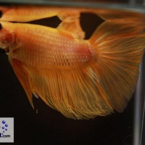 male 16 Please contact my via PM or E-mail if you would like to adopt this betta.