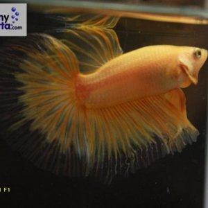 male 21 Please contact my via PM or E-mail if you would like to adopt this betta.